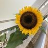 9月末にやっとこさ咲いたヒマワリ🌻やっとこさ種を収穫しました🌻