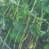 冬瓜を発掘する