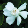 今日の誕生花「クチナシ」香りが素敵な日本の三大香木の花!