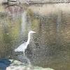 浜松城公園せせらぎの池に居た朝のアオサギ