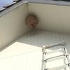 浜松市で軒下にできたキイロスズメバチの巣を駆除してきました