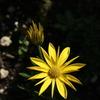 イベリスとキララと花海棠咲く