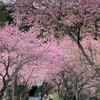 アリスと河津桜を見てきました