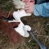 釣り糸絡まり、翼骨折した絶滅危惧種の渡り鳥保護 鳥取・米子水鳥公園