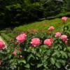 ミモザ・ガーデンの日記 今年の庭園歩き