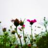 コスモス開く秋の空 秋風吹けばゆれる花の枝
