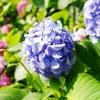 一日一撮 vol.266 番の州公園:紫陽花ロード