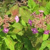 公園の初夏の花2