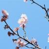 岐阜市の梅林公園 梅まつりに行ってきました