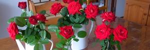 60代のバラ栽培 ベランダガーデニングのイングリッドバーグマンが開花しました。