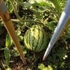🍉🍅わくわく家庭菜園🙌✨