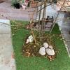 オオデマリは今年も咲きそうです