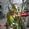 今年の孔雀サボテン