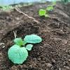 白菜の植え付け+α