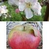 """りんご5 リンゴの近縁植物,""""リンゴ連""""の花や果実について簡単にまとめてみました.古代から親しまれているナシ(和なし)だけではなく,ビワもリンゴと近縁.果実が食べられるか否かにかかわらず,花はどれも美しい."""