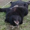 駆除のクマの胃から人体の一部 襲って食べたか 秋田
