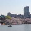 山田封筒店周辺の桜