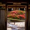 京都・一乗寺 - 霧島躑躅咲く 春の詩仙堂