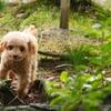 尿石症・尿路結石になった愛犬トイプードルがフードを変えて再発することもなく長生きしてる話!