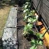 地固め療法(2) ー 23日目  家庭菜園