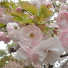 桜、間に合いました~。