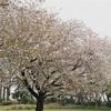 桜は散り際が一番素晴らしい