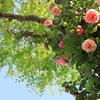 高知県モネの庭の『バラ』リージャンロードクライマー(2)