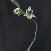 Chloraea bletioides