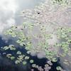 ヒツジグサの葉たち