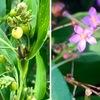 線路際の花々:ジュズダマ,ハゼラン,エノコログサ,オシロイバナ.ハゼランは名前を知りませんでした.そして,ジュズダマがハトムギと同種ということも知りませんでした.ハトムギは小麦の代わりに使うことも可能とか.ジュズダマも食べようと思えば食べられるのでしょうね.