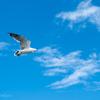 🐦野鳥の回【84】🆕58種類目ウミネコ(海猫)