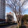 藤沢市内の街路樹について