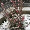 雪に耐えて梅花麗し(その2)〜雪でなお映える花たち