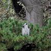 松の木の上で寒そうなアオサギ