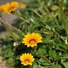 港ちかくの公園に咲くガザニア 熊本県天草市牛深町 下須島