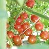 ミニトマトとカマキリの写真  映画アタック オブザ キラートマト