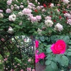 季節到来☆ニノ切公園のバラ(豊中市)