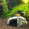 初めての熱帯魚(8)カージナルテトラとコリドラス・ステルバイ