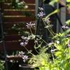 サルビア クレベランディ Salvia clevelandii