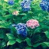 【写真】三室戸寺の紫陽花