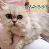 チンチラペルシャ猫【かんたろう】8歳去勢♂里親様募集※里親様決定!