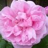 メアリーローズが今年も開花一番乗り
