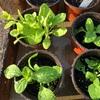 自分で種を蒔いたペチュニアの育ちが悪い(泣)。 会社から余った苗を大量にもらってきました(笑)
