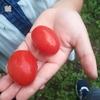 【初収穫!】我が家のミニトマト(アイコ)がついに初収穫を迎えました!採れたてはまだ甘酸っぱかった!