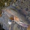 RainbowTrout.62cm