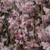 シダレザクラ 枝垂れ桜