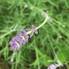 我が家のラベンダー『リトルマミー』の開花状況