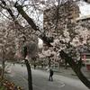 桜はまだ2分咲きです。