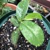 サワーソップの育ち具合、アデニウム・オベスムの発芽