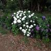 今年の紫陽花で、勝手に独り写真コンテスト!